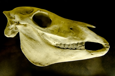 Profile of skull of domestic horse on a black background (Equus caballus) photo