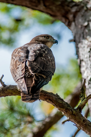 shouldered: coopers hawk perched on tree watching for small prey Stock Photo