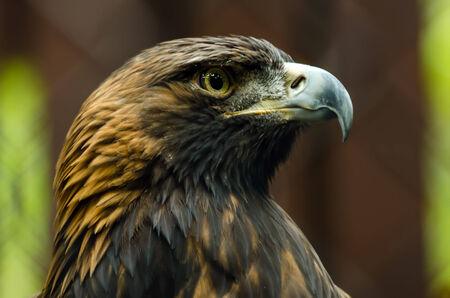 Portrait of a Golden Eagle posing for camera photo