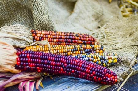 indian decorative corn on farm display
