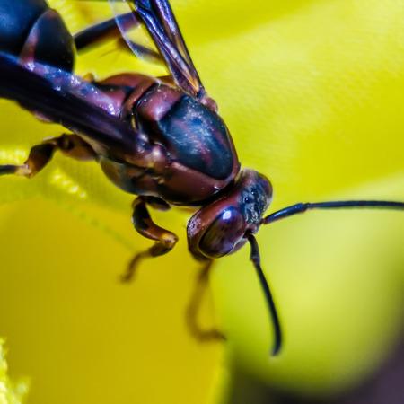 abdomen yellow jacket: wasp of the garden on a yellow wild flower, macro,