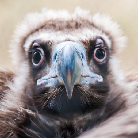 young baby vulture raptor bird photo