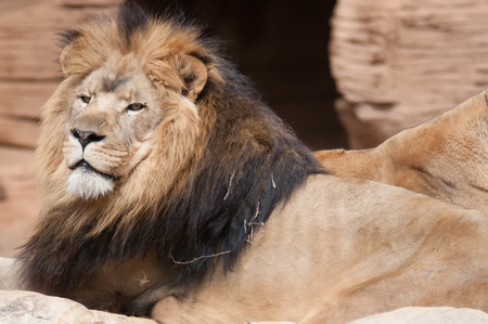 Lion, portrait of the king of beasts photo