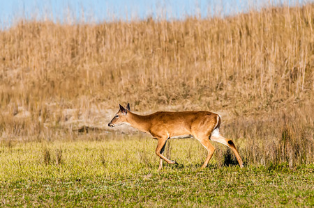white tail deer: white tail deer bambi in the wild