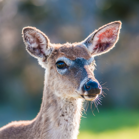 white tail deer bambi in the wild photo
