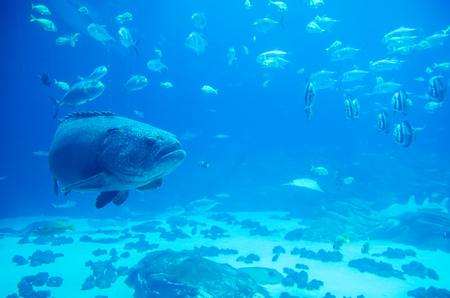 lanceolatus: giant grouper fish looking at diver Stock Photo
