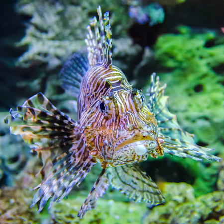 poisonous exotic zebra lion fish  Stock Photo