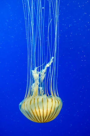 poison jellyfish with blue background