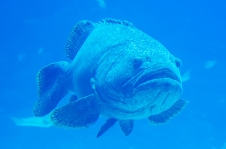 giant grouper fish looking at diver photo