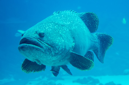 grouper: giant grouper fish looking at diver Stock Photo