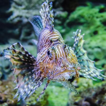poisonous exotic zebra lion fish  스톡 콘텐츠