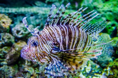 zebra lionfish: poisonous exotic zebra lion fish  Stock Photo