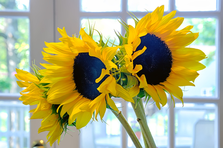 three 3 sun flowers in a vase on a table indoor photo