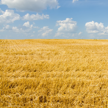 haymow: harvest ready farm field