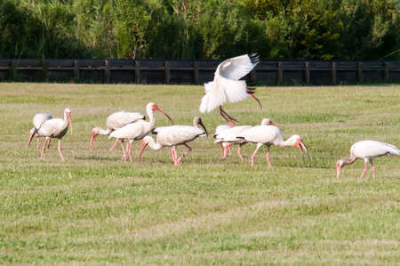 obx: white ibis flock of birds at cape hatteras national seashore