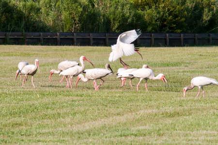 hatteras: white ibis flock of birds at cape hatteras national seashore