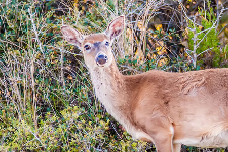 obx: white tailed deer portrait