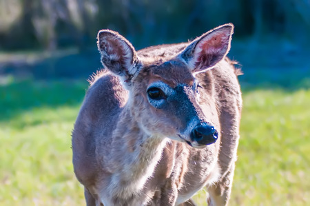 white tailed deer: white tailed deer portrait