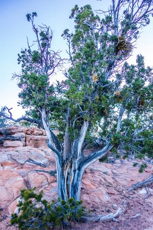 gnarled: An ancient gnarled juniper tree near Navajo Monument park  utah
