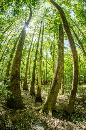 muck: cypress forest and swamp of Congaree National Park in South Carolina