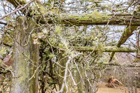 old vines in mountain vineyard with moss growing