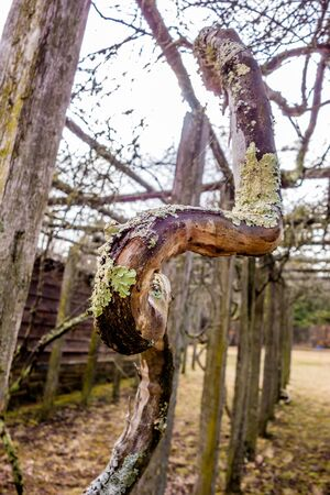 fuzz: old vines in mountain vineyard with moss growing