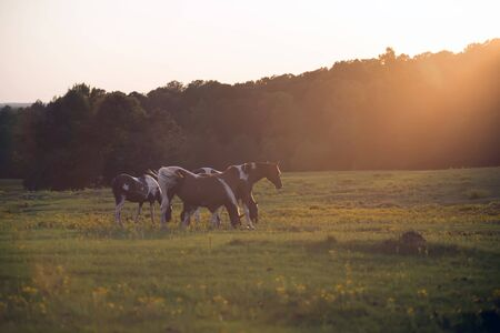 bluegrass: Beautiful  horse on the pasture at sunset in south carolina mountains Stock Photo