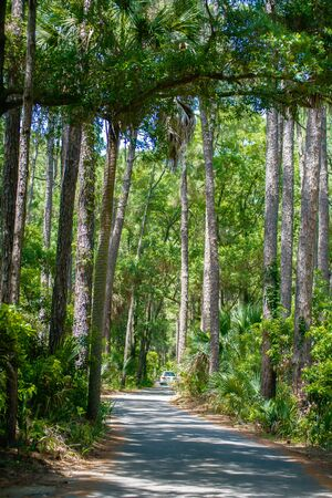 palmetto: palmetto forest on hunting island beach