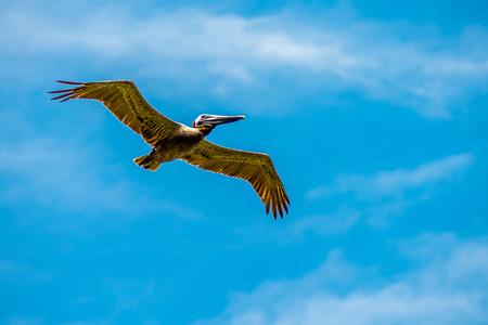 pelican bird in flight over ocean under blue sky 版權商用圖片