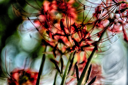 spider lily: Red spider lily lycoris radiata cluster amaryllis higanbana