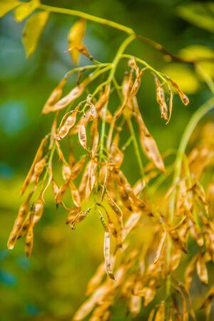 sicomoro: sicomoro semi di albero appesa sul ramo di un albero Archivio Fotografico