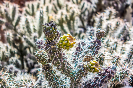 poky: many stems of poky small cactus in desert Editorial