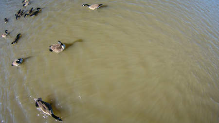 scatters: aerial flying over geese on the pond