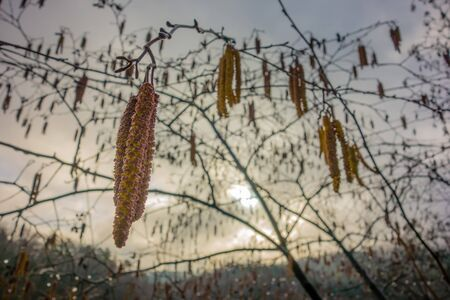Early spring seeds heavy with yellow pollen dangling from branches on a tree Stock Photo