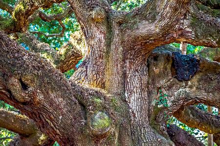 Angle Oak Tree in Johns Island of South Carolina Reklamní fotografie