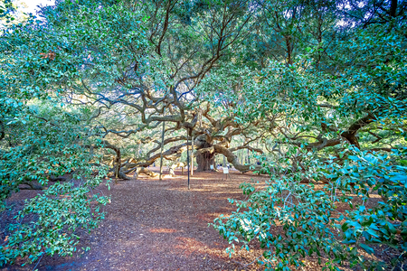 Angle Oak Tree in Johns Island of South Carolina Stock fotó