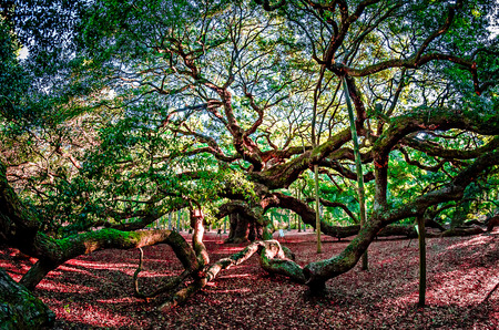 Angel Oak Tree on Johns Island South Carolina
