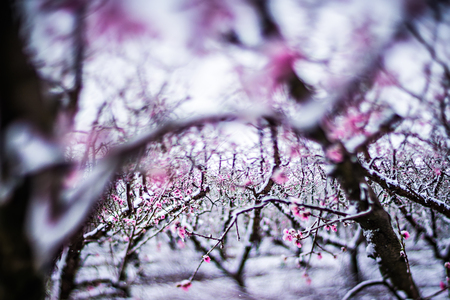 peach tree farm in winter snow Stock Photo
