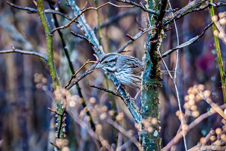 sparrow camoflaged in the thick brush of plants Stock Photo