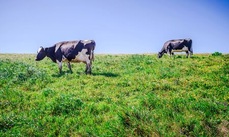 cows on pasture at point reyes nashinal seashore california Stock Photo