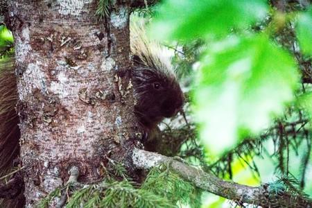 Porcupine on a tree in Iuneau Alaska