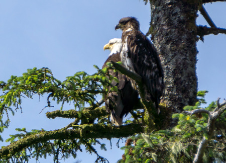 haliaeetus: bald eagle and its baby sitting on tree branch Stock Photo