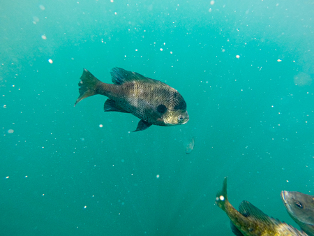 crappie fish swimming around blue waters