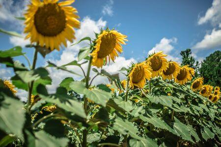 sunflower farm field landscape in south carolina Stock Photo