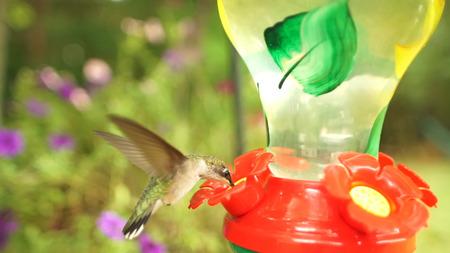 Colibrí con flor roja Foto de archivo - 106033198