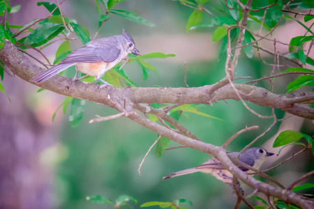 tufted titmouse in the wilds of south carolina Stock Photo