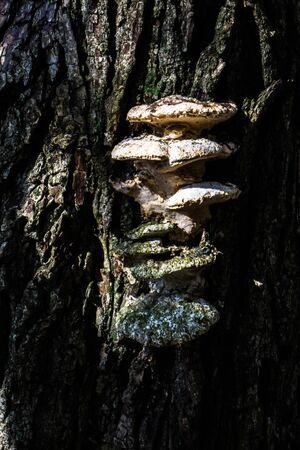 tree mushroom growing on a forest tree Zdjęcie Seryjne - 127800695