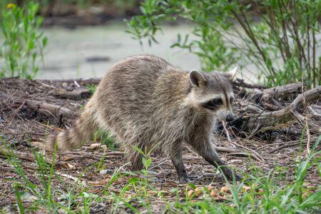 raccoon causing mischief at a campsite Reklamní fotografie