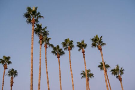 palm trees at sunset on boulevard in los angeles