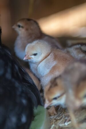 mother hen with baby chickens  写真素材